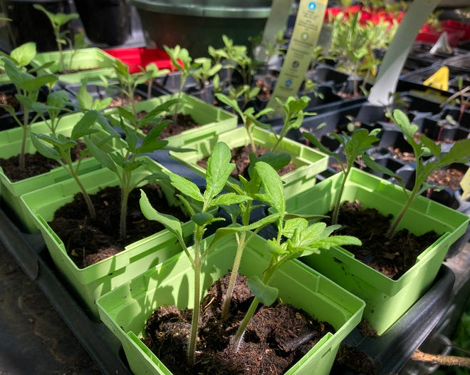 Many gardeners rush to get their tomatoes in the ground in March or April, but extension agent Scott Eckert waits until May.