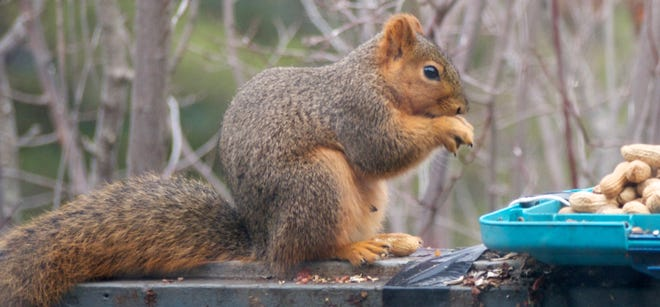 There seems no end to the acrobatics of a squirrel trying to get to a bird feeder. So, instead of fighting them, offer the furry rascals an alternative feeding station.