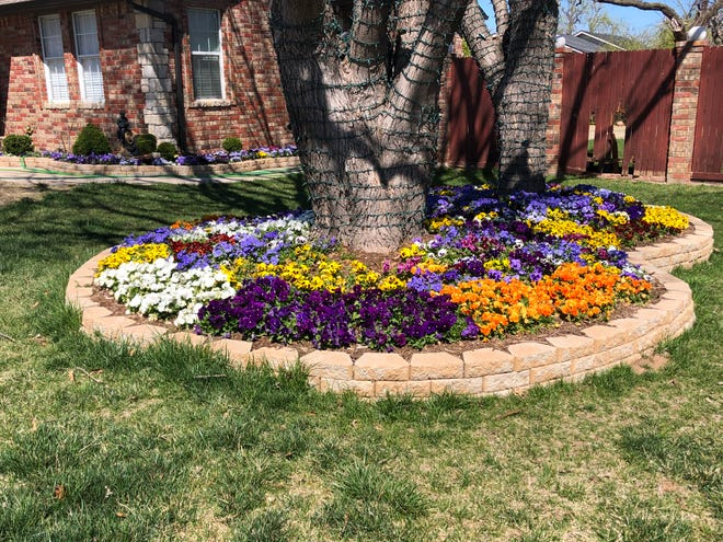 Pansies rebounding with a fresh crop of flowers for spring in west Oklahoma City.