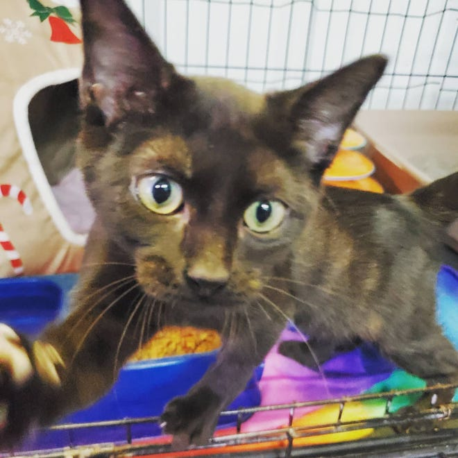 """Peridot (pronounced """"pear-eh-doh"""") is a 4-month-old female. She is a very playful girl, super sweet, and loves to cuddle. She is litterbox trained and is already spayed and microchipped. Her adoption price is $45. To adopt Peridot, call the Erath County Humane Society at (254) 965-3247 or for more information, visit erathcountyhumanesociety.com ."""