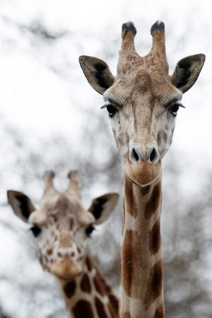Kijana, right, and Clementine share a space in the African Rift enclosure at the Mesker Park Zoo & Botanic Garden March 18, 2021. Both reticulated giraffes are three years old and appear to be curious as well as social.