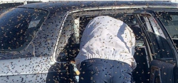 Off-duty Las Cruces firefighter Jesse Johnson helps relocate bees that invaded a car parked at Albertsons on El Paseo Road on Sunday, March 28, 2021.