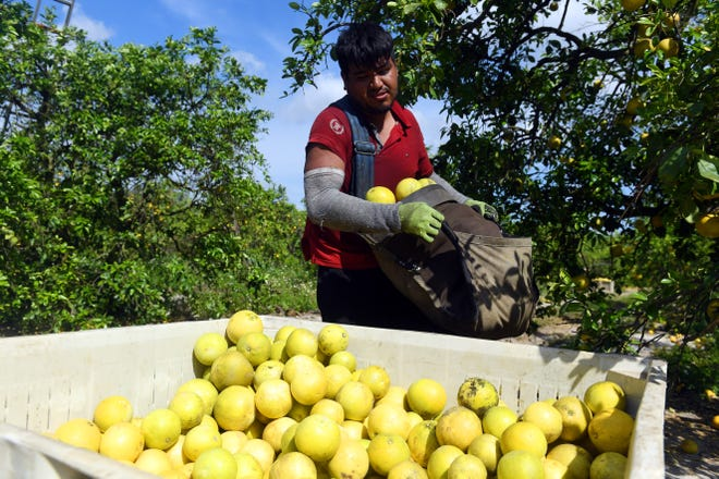 Victor Alejandro Martinez takes a bag of freshly picked white grapefruit to a waiting bin on Thursday, March 25, 2021, while working the groves of Happy Food Grove as a migrant laborer in St. Lucie County. Happy Food Grove's parent company, IMG Citrus, is proposing building housing for migrant laborers who work the farm. The issue will be coming to the SLC Commission for approval on April 6.
