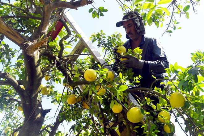 Carmen Camacho Bautista, a migrant worker, harvests white grapefruit at Happy Food Grove in St. Lucie County on March 25.