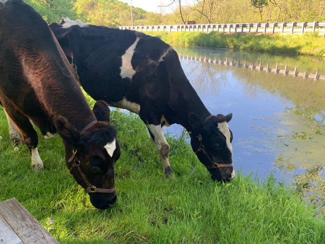 Former UW School of Veterinary Medicine resident donor and teaching cows Maxine and Lois enjoy retirement on the farm of Eric Howlett DVM'18.
