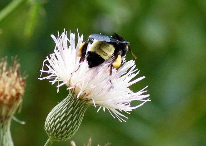 A bumblebee gets pollen from the bloom of a thistle.