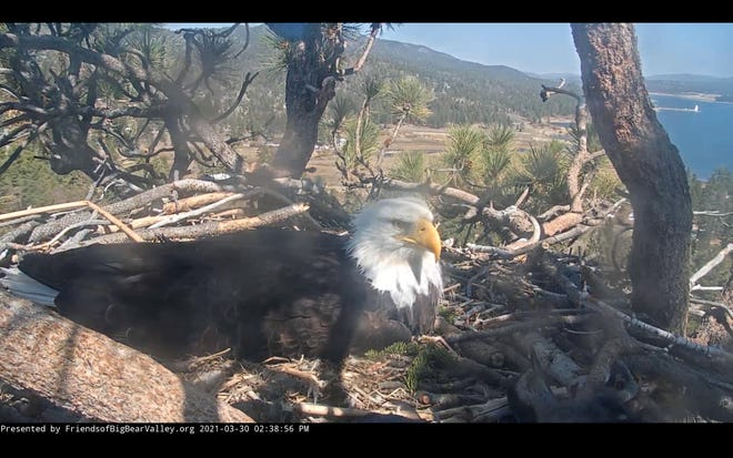 An eagle, either Jackie or Shadow, sits on their last remaining egg in Big Bear on Tuesday, March 30, 2021.