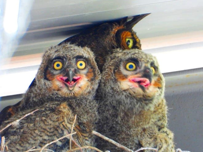 Great horned owls Ragin' and Cajun hang out in their nest with one of their parents.