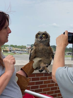 A baby owl rescued by wildlife rehab specialist Letitia Labbie at UL's baseball stadium, M.L. Tigue Moore Field at Russo Park.