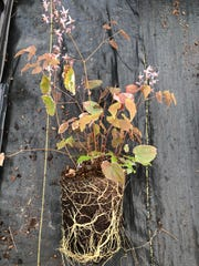This container grown specimen of Epimedium 'Pink Elf' shows vigorous white new roots but lacks the heavy mat of roots seen in plants that have been in the container too long.