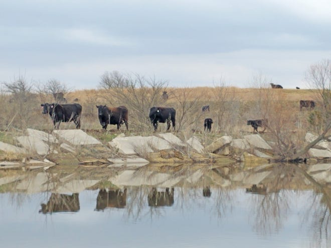 Cows and calves reflected on a pond.