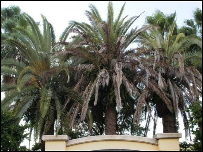 The Canary Island date palms in the middle and the right  show symptoms of lethal bronzing.