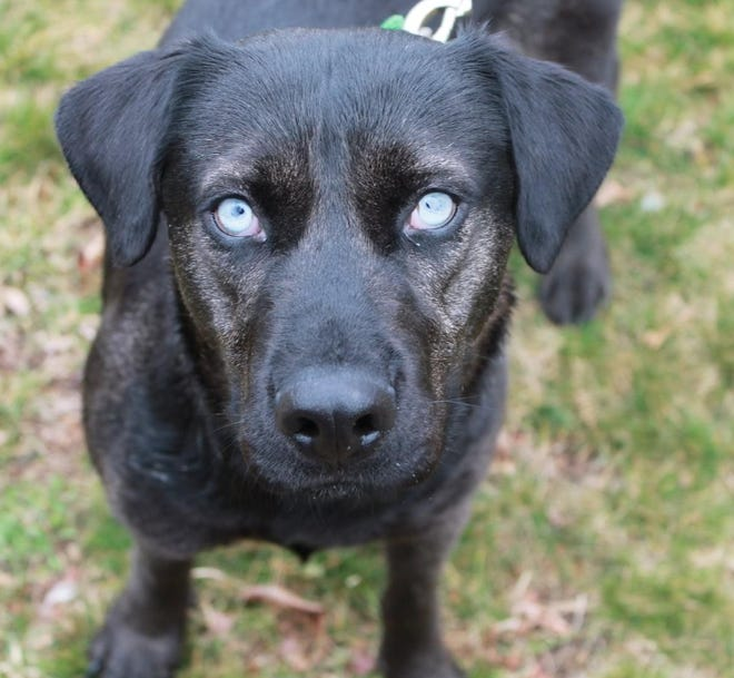 Gentle Lab mix Madison has some special medical needs.