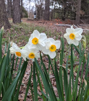 Happy spring daffodils