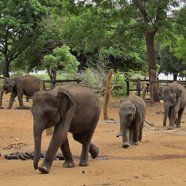 """Care of Asian elephants will be discussed at Buttonwood Park Zoo's """"Wildlife Educational Series"""" in virtual event"""
