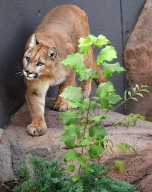 Salton, one of two mountain lions housed at the EcoTarium, waits for dinner last September, when the museum was closed to the public. Salton and sibling Freyja will be welcoming guests again when the EcoTarium reopens April 23.