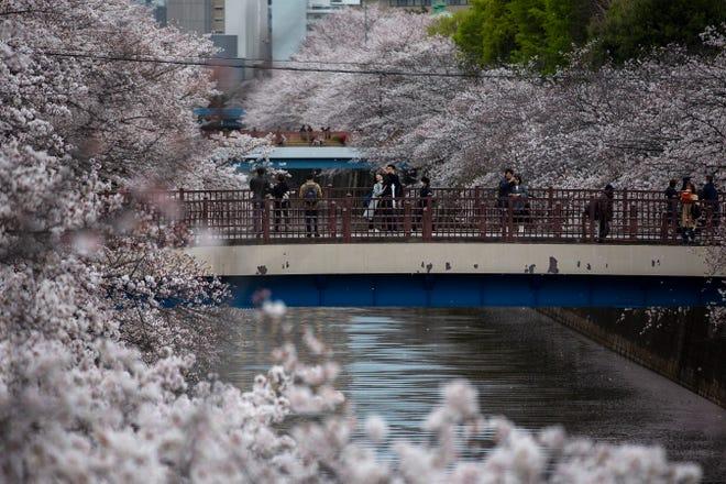 """Bunga favorit Jepang, namanya """"sakura,"""" mulai mekar awal bulan ini dan telah mencapai puncaknya di banyak tempat, membuat rekor paling awal di lebih dari selusin kota di seluruh negeri."""