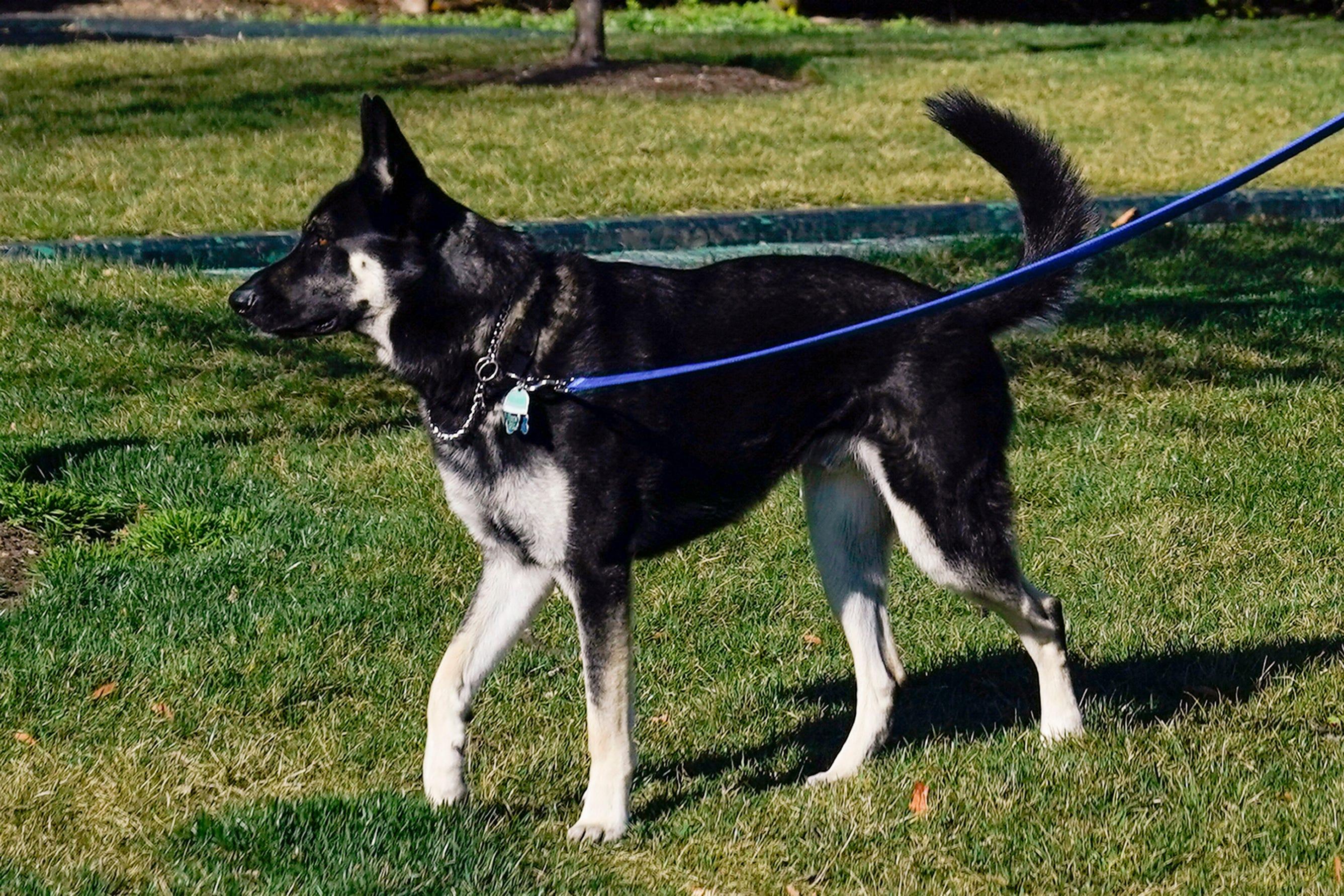 'Major' pain: Biden's dog involved in 2nd biting incident 2