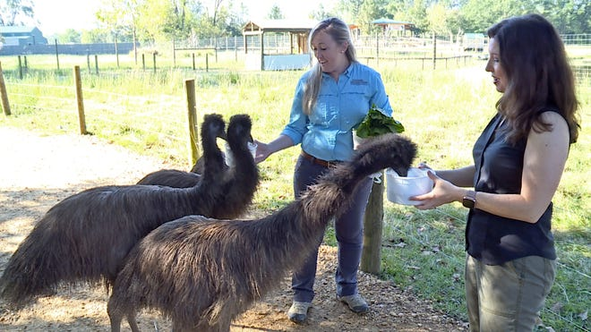 "The emus were feeling a bit peckish. Thankfully, Alabama Safari Park Conservation Coordinator Katy Mogensen, left, and ""Simply Southern TV"" reporter Melissa Bowman came prepared for the feeding frenzy."