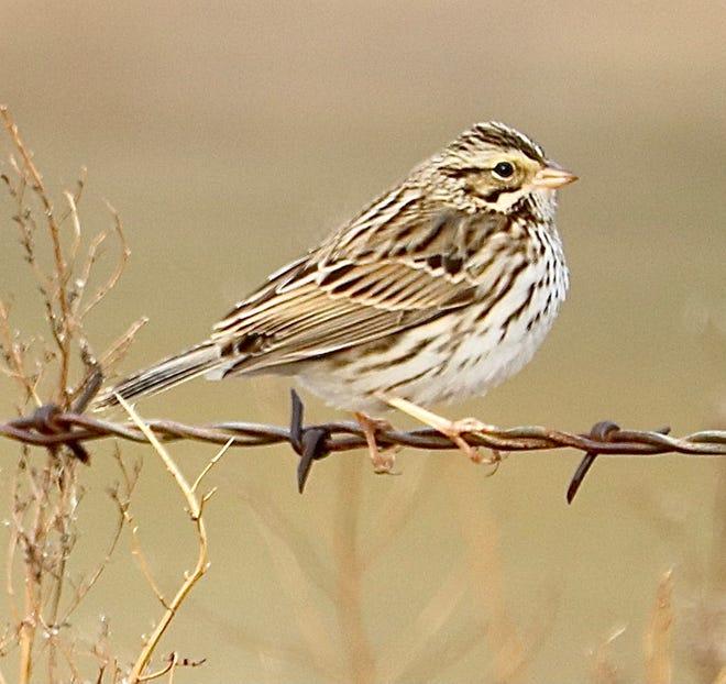 Savannah Sparrow observed in area.