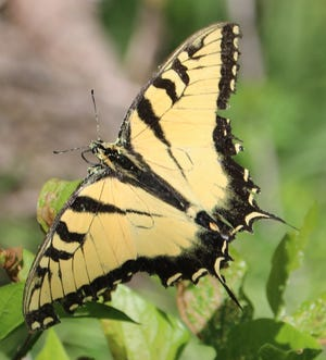 Tiger Swallowtail observed at River Bend Nature Center
