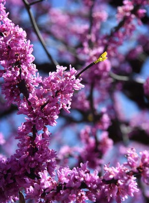 A redbud tree full of flowers begins to leaf out in southern Wichita Falls.