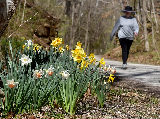 Lisa Chalupny walks along the MKT Nature and Fitness Trail among yellow and white daffodils in April.