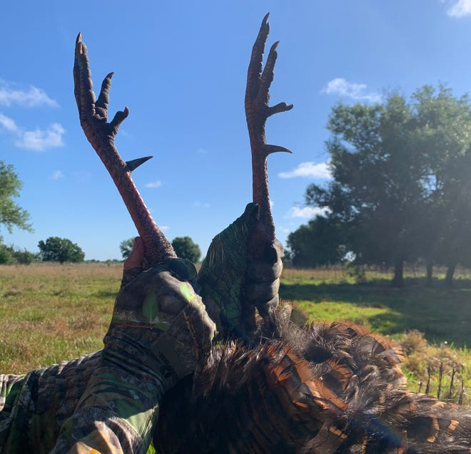 The spurs of a wild turkey. To make the Florida Wild Turkey Registry, a turkey's spurs must be at least 1.25 inches long.