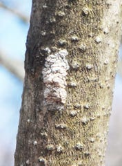 Egg masses  of the destructive spotted lanternfly can attach themselves to the bark of trees  or other surfaces , such as on cars. they an be scraped off and killed. The flies can destroy vegetable and other  crops
