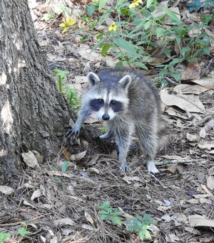 Spring is a awash in adorable baby buns, opossums, raccoons, armadillos and even geese.