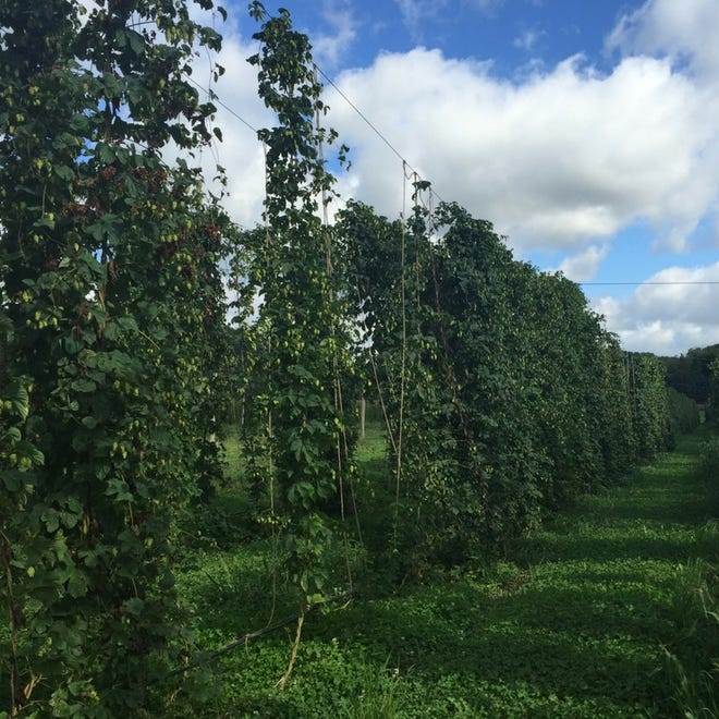 In the 1860's, Wisconsin was the top hops producer in the nation and peaked in production at over six million pounds in 1867.