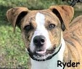 Ryder is a 2-year-old hound/terrier mix.
