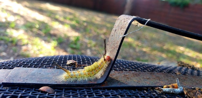 A tussock moth caterpillar climbs up the handle of a fire pit in DeLand on Thursday, April 1, 2021.