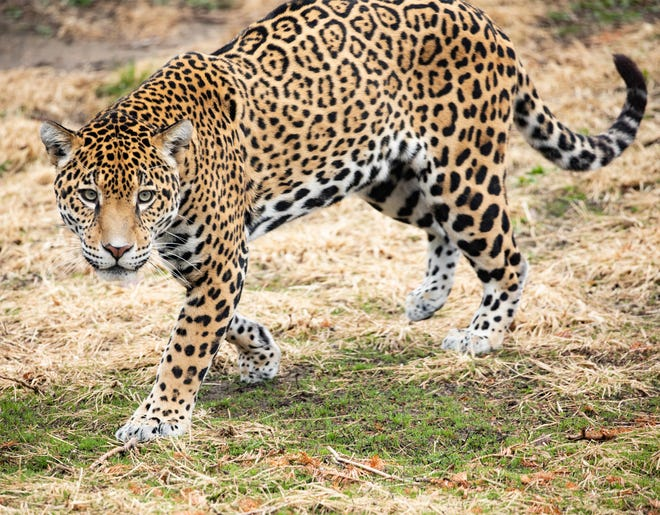 Luna, a four-year-old jaguar, now calls Lee Richardson Zoo home.  Luna's coat is yellow with black rosettes rather than black with black rosettes.