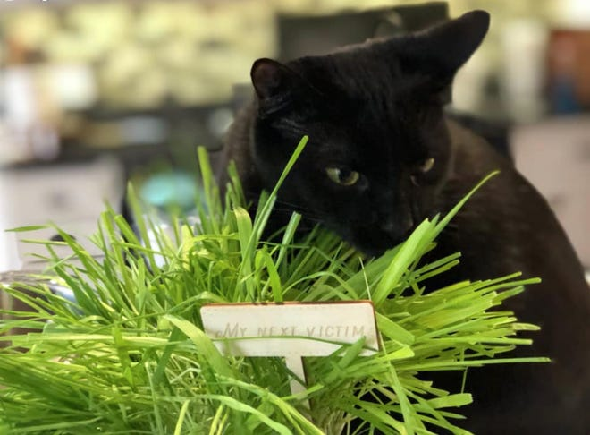 One theory on why cats eat grass is that because they do not have the right enzymes to digest greens, eating grass will help them with indigestible parts of prey.