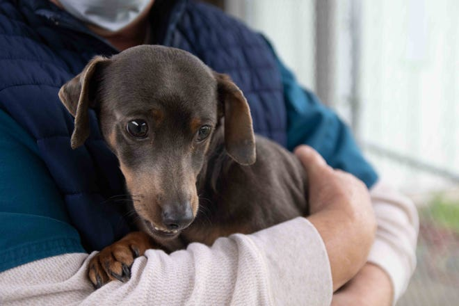 This is one of 17 dachshunds rescued from a Pamlico home where its owner has died. Many of the dogs--as well as seven cats and a rabbit -- will be available for adoption next week.