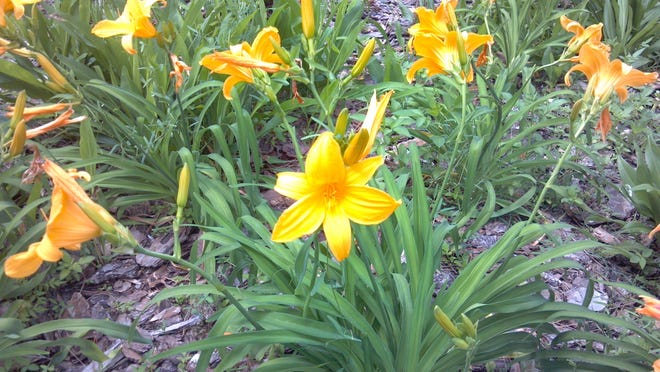 The daylily may be beautiful, but it's toxic to cats.