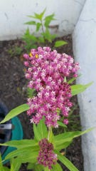 Milkweed is the only plant that Monarch caterpillars can feed on, making them crucial to the species' survival.