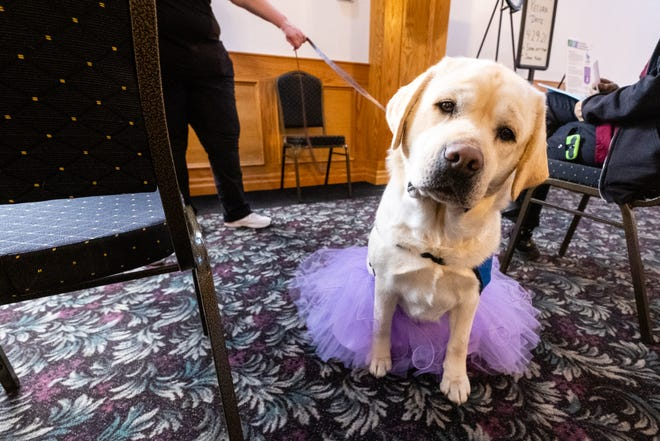 Skyy, a 3-year-old Labrador, waits to greet patients Wednesday, March 31, 2021, at a COVID vaccination clinic at Knight Club in Marysville. Skyy was one of several therapy dogs who helped calm peoples' nerves during the clinic.