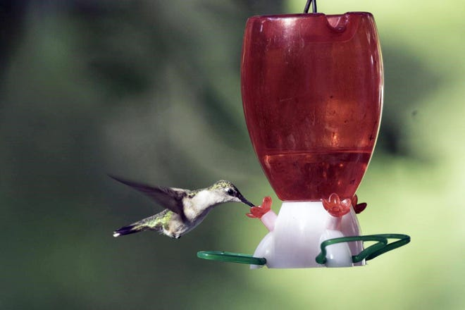 A female ruby-throated hummingbird refuels at a feeder. Missourians are encouraged to learn about these small-but-mighty fliers during their spring migration.