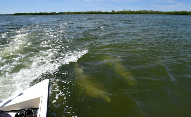 Two dolphins swim in the wake of a Tampa Bay Waterkeeper boat March 31 during a media tour of the wastewater discharge location at Port Manatee in Florida. Millions of gallons of industrial wastewater are being pumped into the bay as the result of a leak at the Piney Point fertilizer plant processing plant.