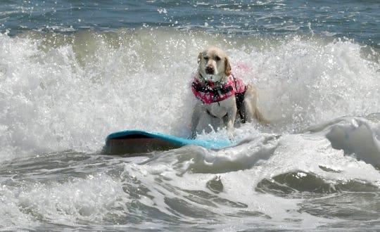La campeona de 2021 es Lily, una laboratorio amarilla de Port Saint Lucia, que estaba con su dueño, Michael Vogt.  El 8vo Campeonato Anual de Surf Canino de la Costa Este en beneficio de la Sociedad Protectora de Animales de Brevard se llevó a cabo el domingo durante el 57º Festival Anual de Surf de Pascua en el Parque Lori Wilson en Cocoa Beach.