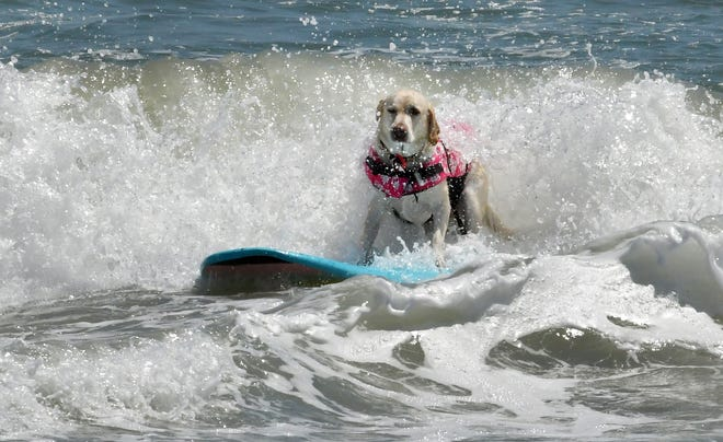 The 2021 champion is Lily, a yellow Lab from Port St. Lucie, who was with her owner, Michael Vogt. The 8th Annual East Coast Dog Surfing Championship to benefit Brevard Humane Society was held Sunday at the 57th Annual Easter Surf Festival at Lori Wilson Park in Cocoa Beach.