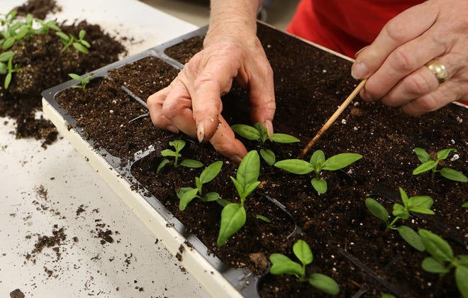 Volunteer Virginia Lamb replants milkweed into six pack plant containers at Dillon Nature Center Friday afternoon, April 2, 2021, in preparation for the Lesser Known Lovelies Plant Sale.