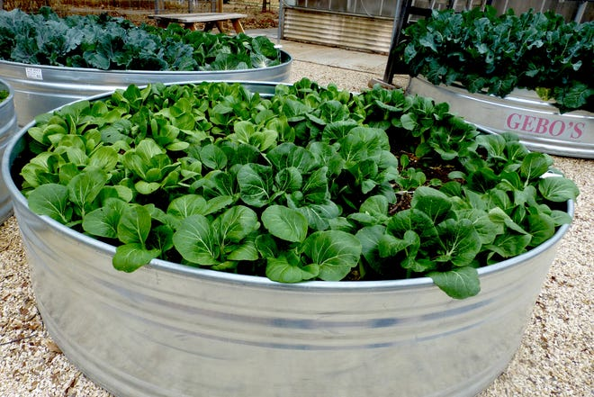 Bock choy at the Texas Tech University Horticultural Gardens and Greenhouse has been grown in an 8-foot by 2-foot galvanized metal, round water trough. Plants are drip irrigated.