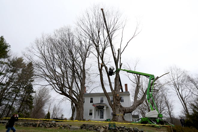 A 240-year-old maple tree is taken down with a crane on Monday morning in Kensington.