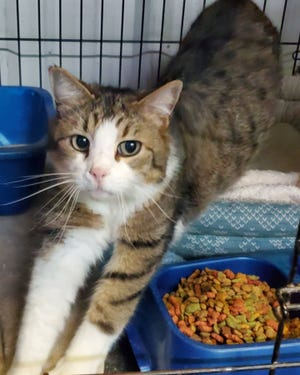 This week's Erath County Humane Society Cat of the Week is Pancake. Pancake is an 8-year-old neutered male. He likes to lounge around. He loves head and neck scratches and when he wants attention will rub against you. He does well with other cats but has never been around dogs. He is a little goofy looking with an under bite and 3/4 of a tail, but it just adds to his charm. He is litterbox trained and microchipped. If you are interested in him, please stop by during business hours or call (254) 965-3247.