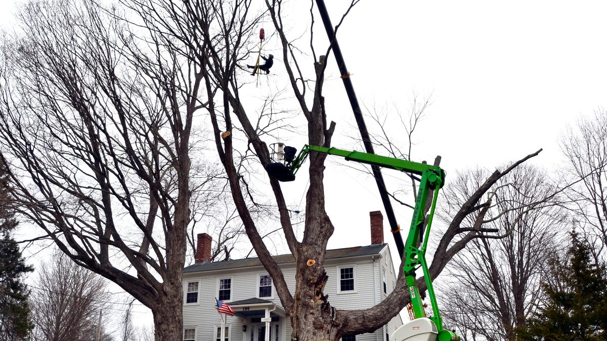 Safety concerns bring down largest sugar maple tree in US 2