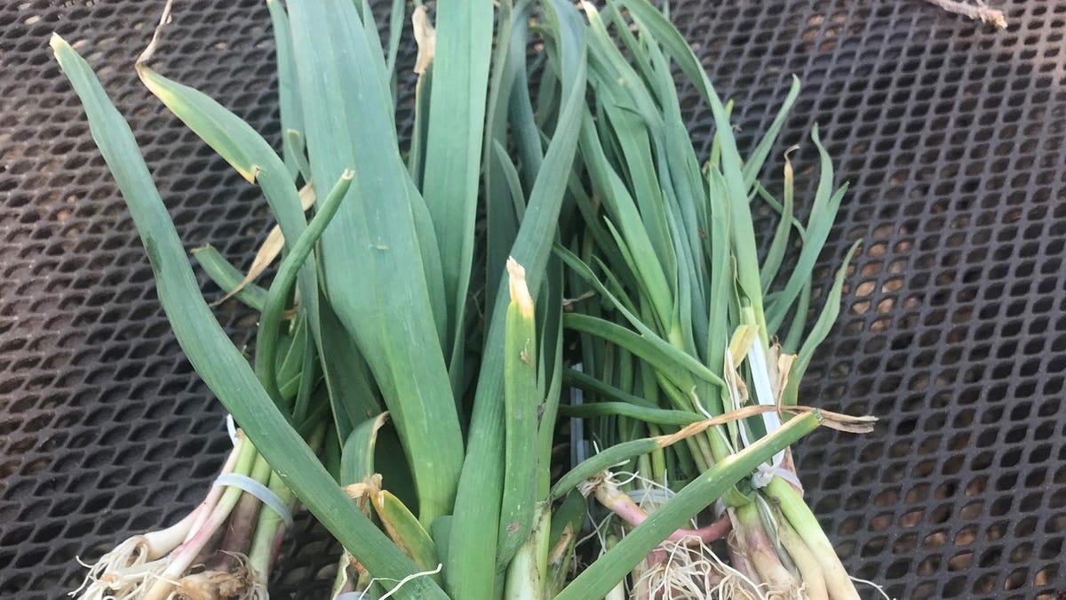 A head start on garlic 2