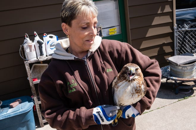 Erin Stacks, a licensed wildlife rehabilitator and owner of Back 2 The Wild Rehab, carries a Red-tailed Hawk across her driveway Friday, April 2, 2021, in Fort Gratiot. The hawk had been hit by a car but was planned to be released later that day.